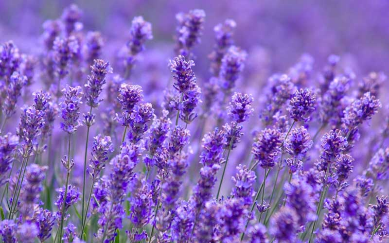 Does lavender help you sleep?